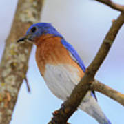 Very Bright Young Eastern Bluebird Perched On A Branch Colorful Art Print