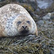 Very Chubby Harbor Seal Art Print