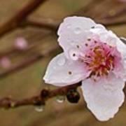 Very Early Peach Blooms Art Print
