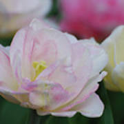 Very Pretty Pale Pink Parrot Tulip Flower Blossom Art Print