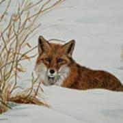 Vexed Vixen - Red Fox Art Print