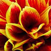 Vibrant Dahlia Petals Art Print