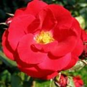Vibrant Red Rose Art Print