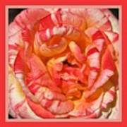 Vibrant Two Toned Rose With Design Art Print