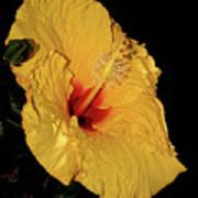 Vibrant Yellow Hibiscus By Kaye Menner Art Print