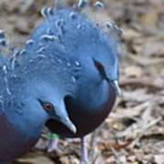 Victoria Crowned Pigeon 5 Art Print