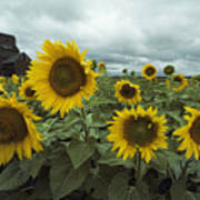 View Of A Field Of Sunflowers Art Print