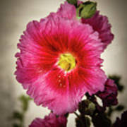 Vignetted Hollyhock Art Print