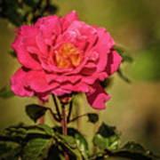 Vignetted  Rose Art Print