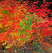 Vine Maple In Oregon Art Print