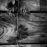 Vine On Barn Art Print