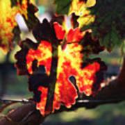 Vineyard 26 Art Print