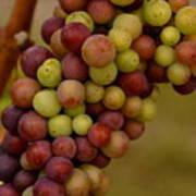 Vineyard Grapes Art Print