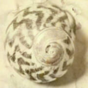Vintage Seashell Still Life Art Print