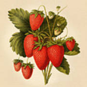 Vintage Strawberries Art Print