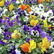 Viola In The Spring Are Especially Beautiful. Art Print