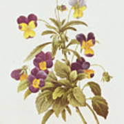 Viola Tricolour  Art Print