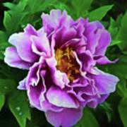 Violet Peony Art Print