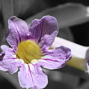 Violet Trumpet Vine Selective Color Art Print