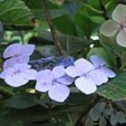 Violets O The Green Art Print