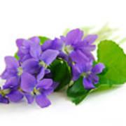 Violets On White Background Art Print
