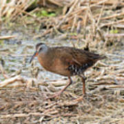 Virginia Rail Art Print