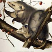 Virginian Opossum Art Print by John James Audubon