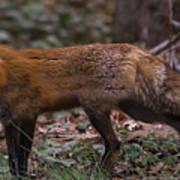 Virginian Red Fox Art Print