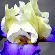 Vivid Iris 6622 H_3 Art Print