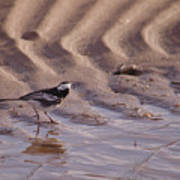 Wagtail On West Sands Art Print