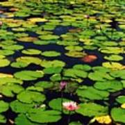 Wailea Water Lilies Art Print