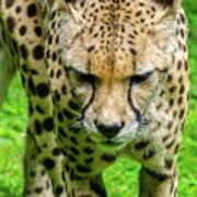 Walking Cheeta Art Print