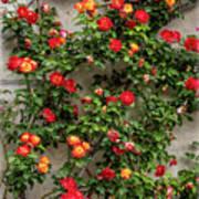 Wall Of Roses Art Print