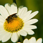 Wasp On Daisy Art Print
