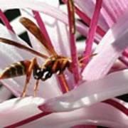 Wasp On Flower Art Print