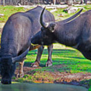 Watching 2 Water Buffalos 1 Water Buffalo Watching Me Art Print