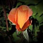 Water Beads On Orange Rose Art Print