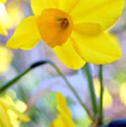 Water Color Daffodil Art Print