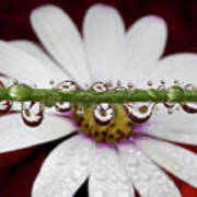 Water Drops And Daisy Art Print by Dr T J Martin