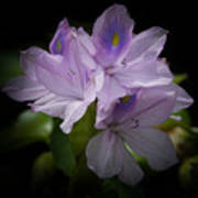 Water Hyacinth Art Print