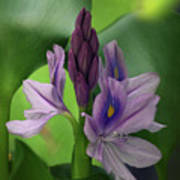 Water Hyacinth Art Print