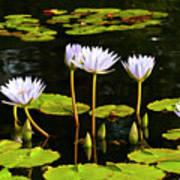Water Lilies 1 Art Print