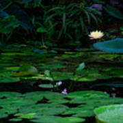 Water Lilies In The Pond Art Print
