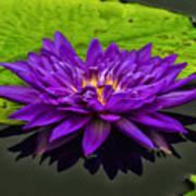 Water Lily 15-2 Art Print