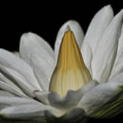 water lily 25 White Night Blooming Water Lily I Art Print