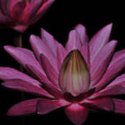 water lily 27 Dark Pink Night Blooming Water Lily Art Print