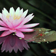 water lily 92 Sunny Pink Water Lily with Lily Pad Art Print
