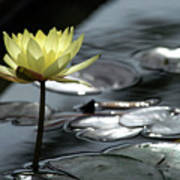 Water Lily And Silver Leaves Art Print