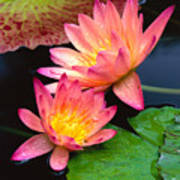 Water Lily Art Print by Bill Brennan - Printscapes