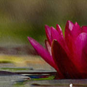 Water Lily - Id 16235-220248-4550 Art Print